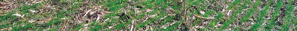 Ryegrass Cover Crop